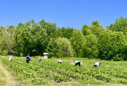 Strawberry Fields II